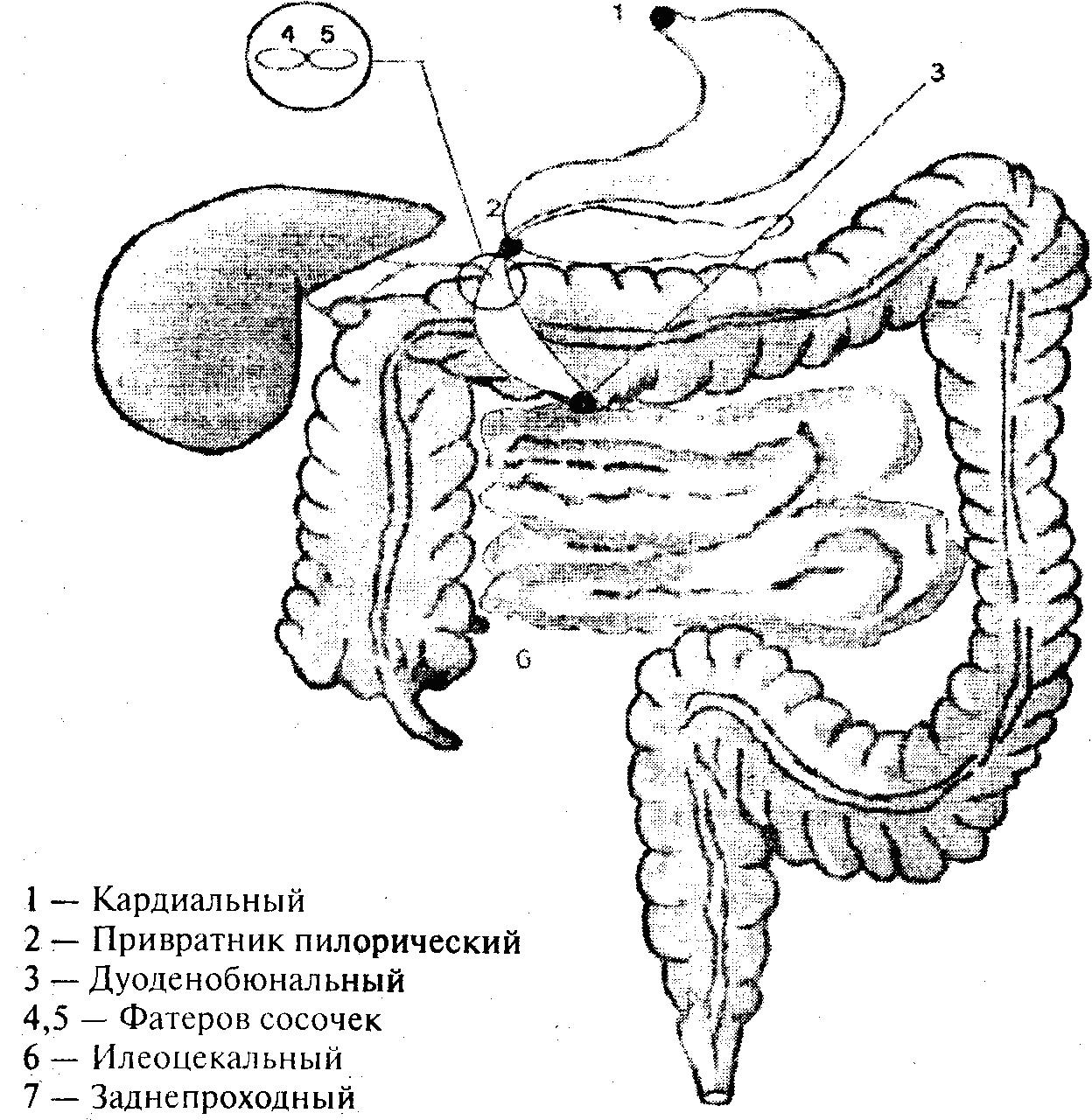 Клапан Илеоцекальный фото